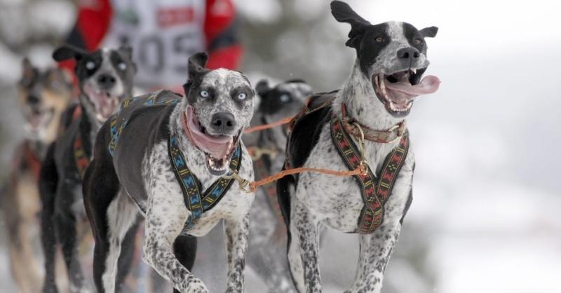 26jan2013---caes-puxam-treno-durante-corrida-internacional-canina-na-aldeia-de-raubichi-cerca-de-20-km-de-minsk-em-belarus-1359223884878_956x500